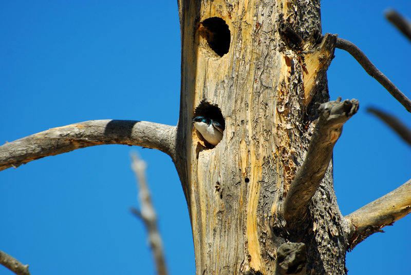 Tree Swallow coming out of a Petrified Tree at Yellowstone