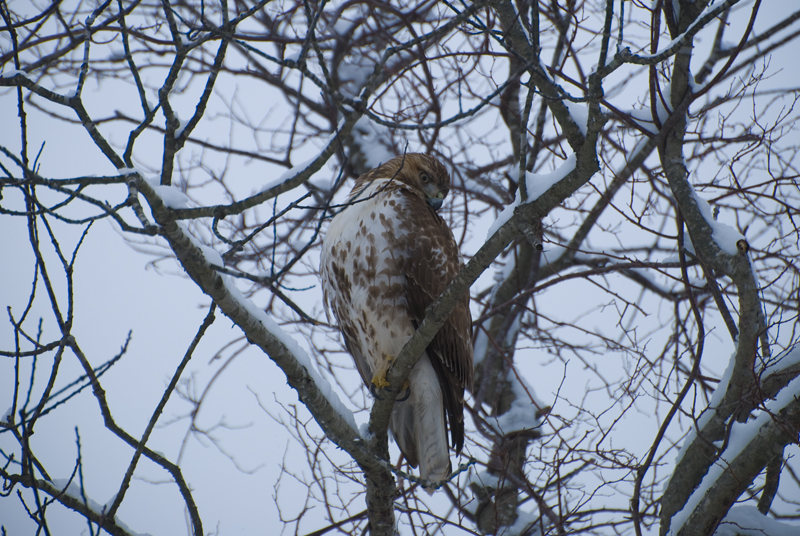 Red-tailed Hawk - Bolton, CT