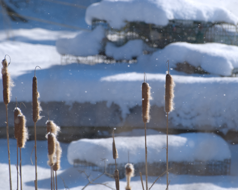 Cattails in the Wind - Musgongus Bay, ME