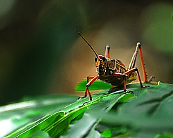 Eastern Lubber Grasshopper at Animal Kindom, Disney World - Orlando, FL