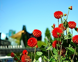 Red Dahlias at Seattle Center - Seattle, WA