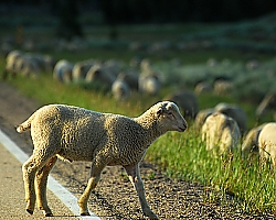 Sheep crossing the road at Bighorn National Forest - Buffalo, WY