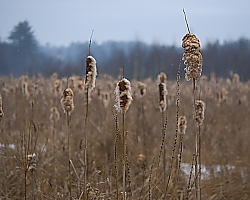 Cattails in Hooksett, NH
